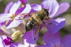 Ciérrese para arriba de una abeja en las flores púrpuras hermosas Foto de archivo libre de regalías