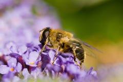 Ciérrese para arriba de una abeja en un Buddleia Fotografía de archivo