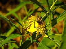 Ciérrese para arriba de una abeja en una flor amarilla Fotos de archivo libres de regalías