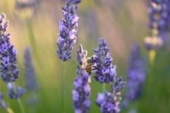 Ciérrese para arriba de una abeja en una flor de la lavanda Imagen de archivo libre de regalías