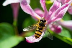 Ciérrese para arriba de una abeja en una flor rosada Foto de archivo libre de regalías