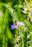 Ciérrese para arriba de una abeja ocupada que recoge la miel Imágenes de archivo libres de regalías