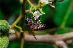 Ciérrese para arriba de una abeja sin aguijón femenina de la miel en las hojas y las flores Imagenes de archivo