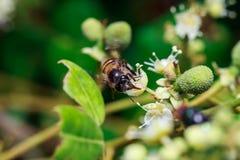Ciérrese para arriba de una abeja sin aguijón femenina de la miel en las hojas y las flores Fotografía de archivo
