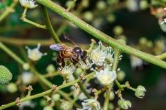 Ciérrese para arriba de una abeja sin aguijón femenina de la miel en las hojas y las flores Imágenes de archivo libres de regalías