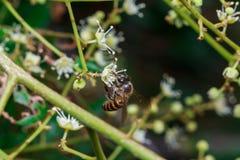 Ciérrese para arriba de una abeja sin aguijón femenina de la miel en las hojas y las flores Imagen de archivo libre de regalías
