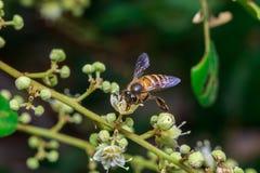 Ciérrese para arriba de una abeja sin aguijón femenina de la miel en las hojas y las flores Imagen de archivo