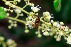 Ciérrese para arriba de una abeja sin aguijón femenina de la miel en las hojas y las flores Fotografía de archivo libre de regalías