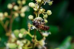 Ciérrese para arriba de una abeja sin aguijón femenina de la miel en las hojas y las flores Foto de archivo