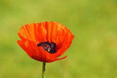 Ciérrese para arriba de una amapola hermosa de la flor fotografía de archivo libre de regalías