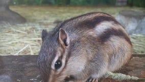 Ciérrese para arriba de una ardilla mullida linda preciosa del roedor que come la comida metrajes