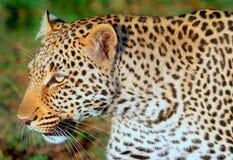 Ciérrese para arriba de una cabeza del leopardo en el Masai Mara Fotos de archivo libres de regalías