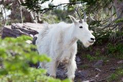 Cierre de la cabra de montaña para arriba Fotografía de archivo