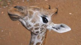 Ciérrese para arriba de una cara divertida de la jirafa foto de archivo libre de regalías