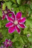 Ciérrese para arriba de una clemátide púrpura florecida grande foto de archivo libre de regalías
