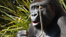 Ciérrese para arriba de una consumición femenina del gorila almacen de metraje de vídeo