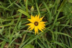 Ciérrese para arriba de una flor amarilla del gazania de la familia de la margarita, Asteraceae, visión superior, fondo de la hie imagenes de archivo