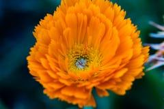 Ciérrese para arriba de una flor anaranjada Imagenes de archivo