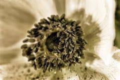 Ciérrese para arriba de una flor de la anémona Foto de archivo libre de regalías