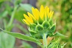 Ciérrese para arriba de una flor de Sun Imágenes de archivo libres de regalías