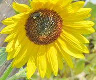 Ciérrese para arriba de una flor de Sun Fotografía de archivo libre de regalías