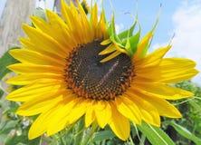 Ciérrese para arriba de una flor de Sun Imagenes de archivo