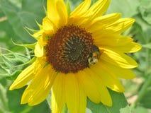 Ciérrese para arriba de una flor de Sun Fotografía de archivo