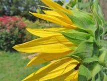 Ciérrese para arriba de una flor de Sun Imagen de archivo libre de regalías