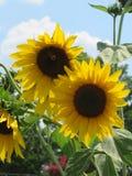 Ciérrese para arriba de una flor de Sun Fotos de archivo libres de regalías