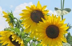 Ciérrese para arriba de una flor de Sun Imagen de archivo