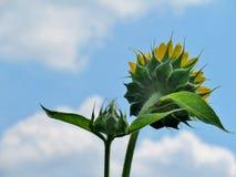 Ciérrese para arriba de una flor de Sun Foto de archivo