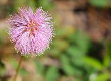 Ciérrese para arriba de una flor del strigillosa de la mimosa Fotos de archivo libres de regalías