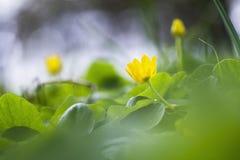 Ciérrese para arriba de una flor del verna del ficaria con el fondo borroso Fotografía de archivo