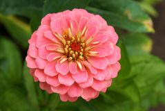 Ciérrese para arriba de una flor del zinnia imágenes de archivo libres de regalías