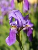 Ciérrese para arriba de una flor de la cama de flor del germanica del iris del iris barbudo o fotos de archivo