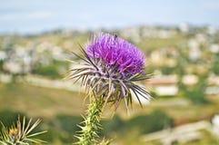 Ciérrese para arriba de una flor púrpura del cardo con una abeja Imagen de archivo libre de regalías