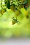 Ciérrese para arriba de una fresa dentro de un invernadero Fotografía de archivo libre de regalías