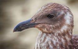 Ciérrese para arriba de una gaviota juvenil Fotos de archivo