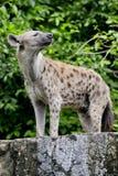 Ciérrese para arriba de una hiena Imagenes de archivo