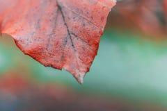 Ciérrese para arriba de una hoja roja Fotografía de archivo