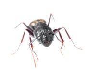 Ciérrese para arriba de una hormiga Fotos de archivo libres de regalías
