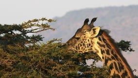 Ciérrese para arriba de una jirafa de alimentación con el masai Mara, Kenia de la escarpa del oloololo metrajes
