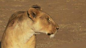 Ciérrese para arriba de una leona herida en el parque nacional de Masai Mara, Kenia almacen de metraje de vídeo
