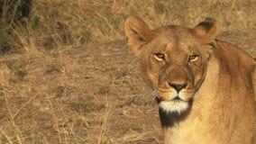 Ciérrese para arriba de una leona herida en masai Mara, Kenia almacen de metraje de vídeo