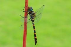 Ciérrese para arriba de una libélula Imagenes de archivo