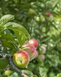 Ciérrese para arriba de una manzana en un árbol con un fondo borroso para el poli Imagenes de archivo