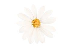 Ciérrese para arriba de una margarita perfecta aislada en blanco Imagen de archivo