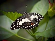 Ciérrese para arriba de una mariposa blanca veteada Fotografía de archivo