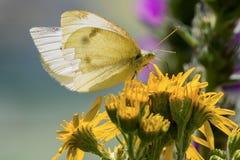 Ciérrese para arriba de una mariposa del blanco de col en las flores amarillas con un fondo borroso fotos de archivo