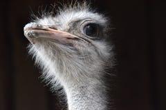 Ciérrese para arriba de una mirada hermosa de la avestruz